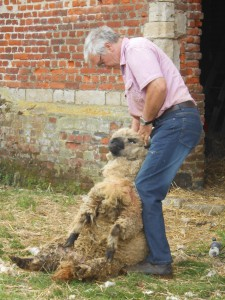 promenade moutons 2015 074